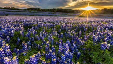 A field of bluebonnets at Muleshoe Bend Recreation Area